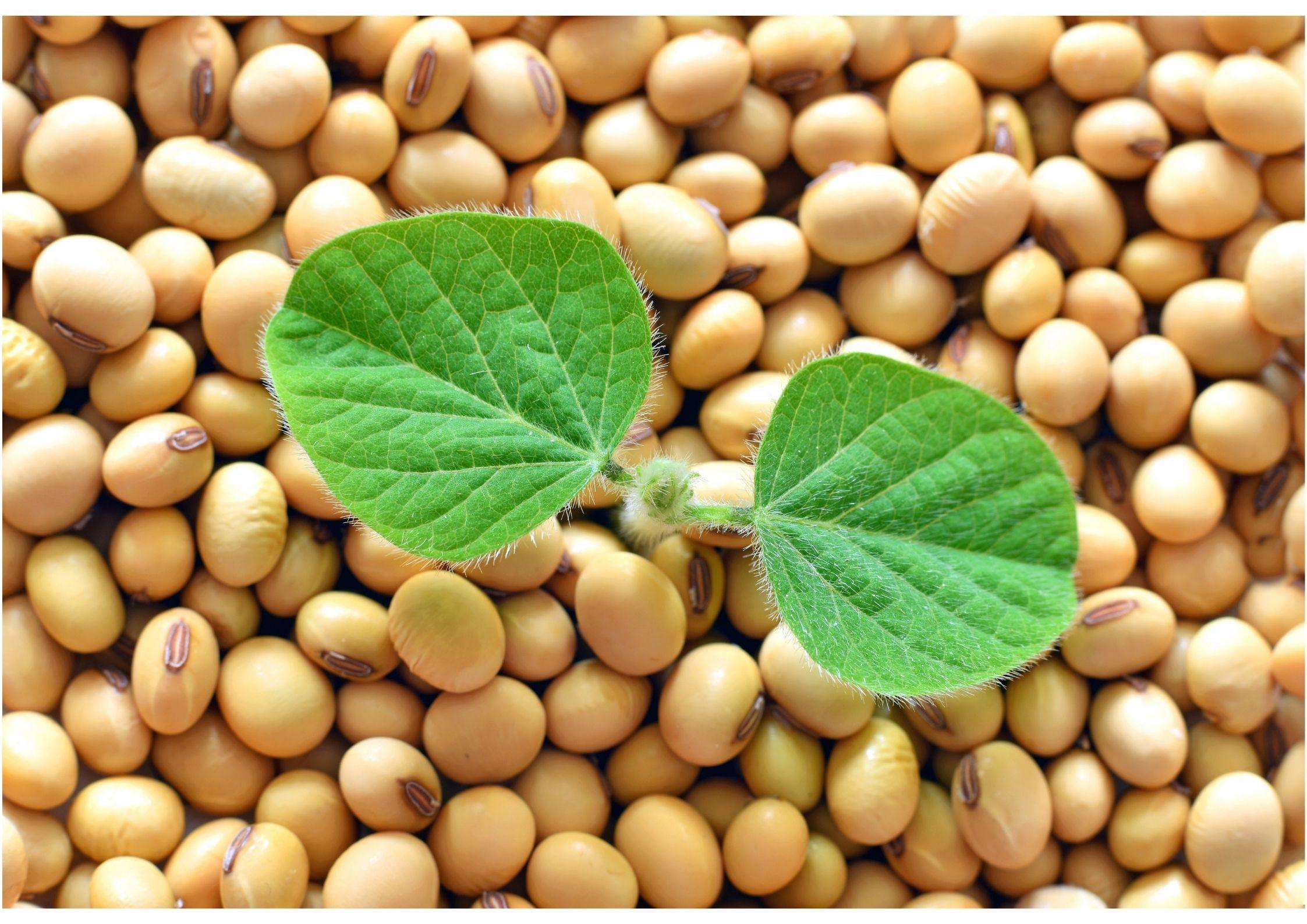 Manfaat Kacang Kedelai terhadap Kesehatan Jantung